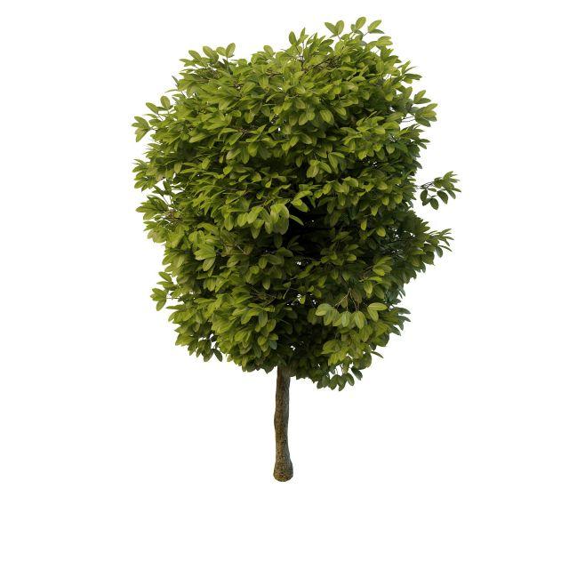阔叶树模型