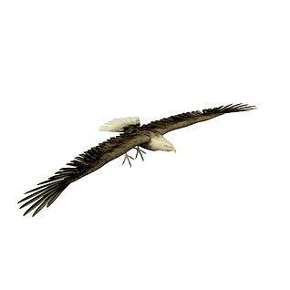 老鹰3d模型