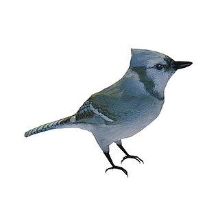 百灵鸟3d模型