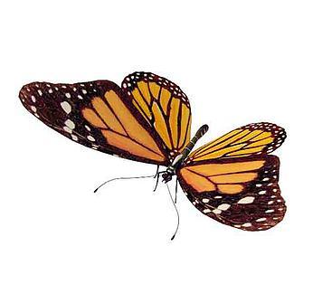 黄色斑点花蝴蝶