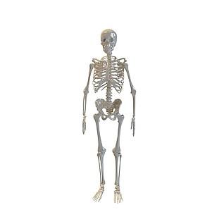 人体骨架3d模型