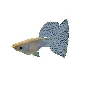 小花金鱼3d模型