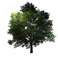 茂盛树木香樟树3D模型3d模型