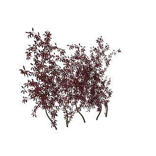 紫叶矮樱3d模型