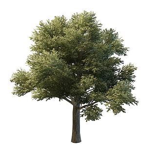香樟<font class='myIsRed'>树</font>3d模型
