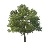 阔叶树3D模型3d模型
