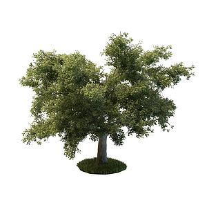 橡木模型3d模型