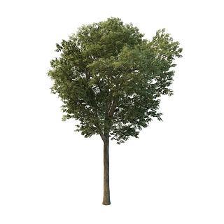 白蜡<font class='myIsRed'>树</font>3d模型