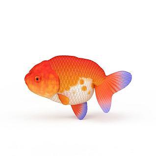 红白锦鲤3d模型