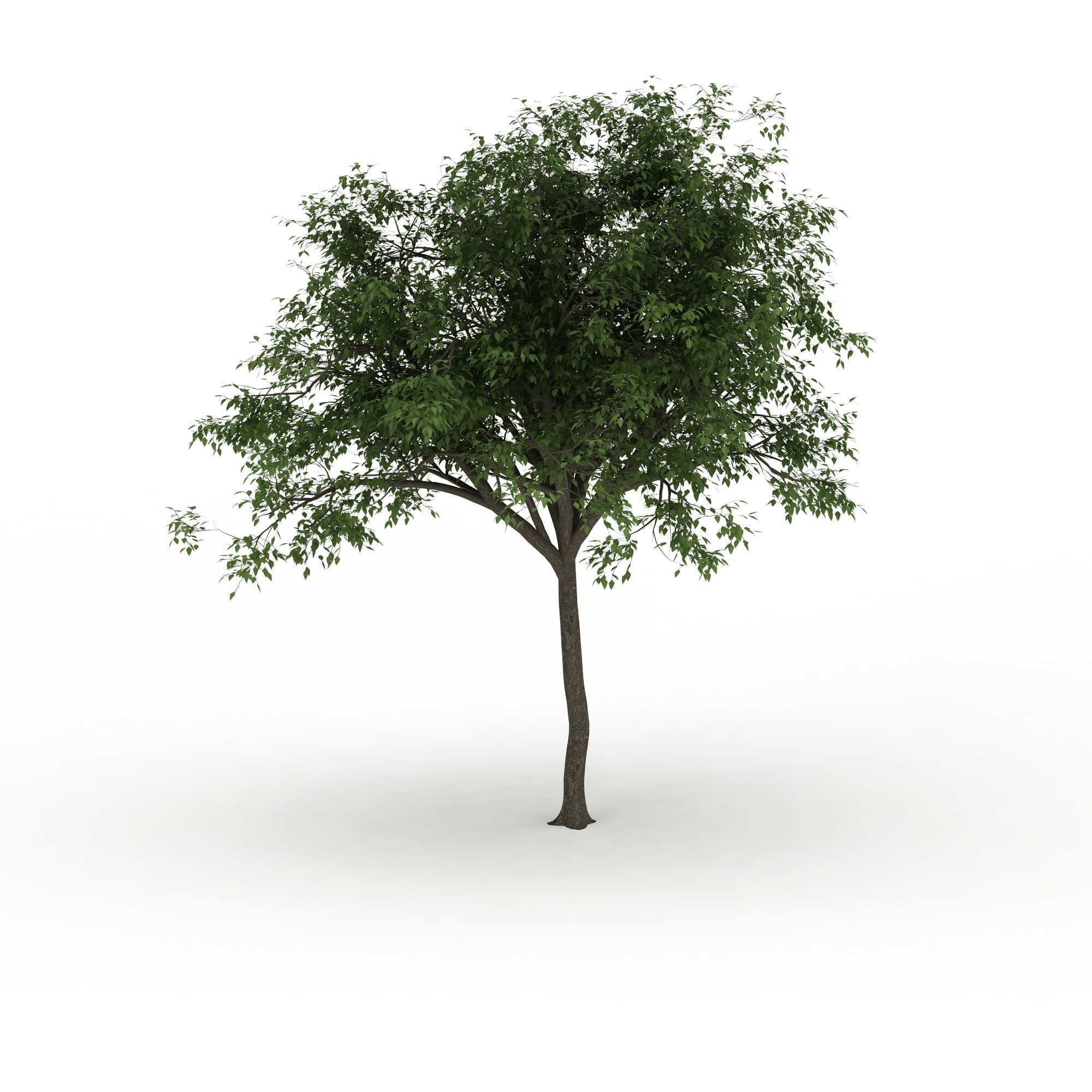园林绿叶观赏树高清图下载