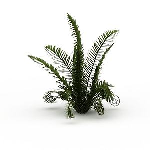 蕨類植物模型