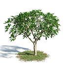 鸡蛋花树模型