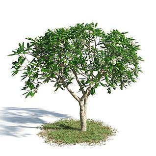 鸡蛋花树3d模型