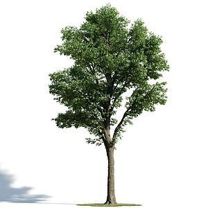 绿化乔木模型