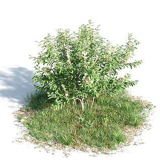 观赏灌木3d模型3d模型