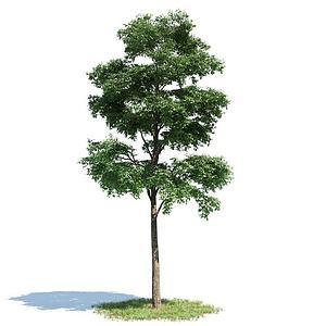 园林景观乔木模型