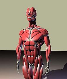 人体骨骼肌肉图模型