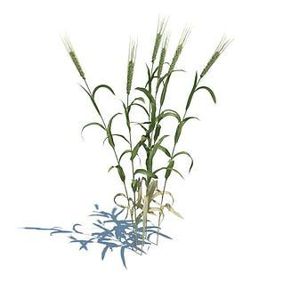 麦子3d模型
