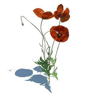 红花疆罂粟3d模型