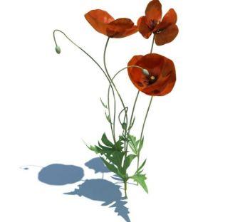 红花疆罂粟
