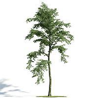 景观乔木3d模型