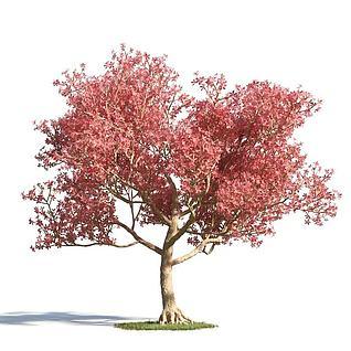 枫树3d模型