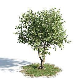 园林乔木3d模型
