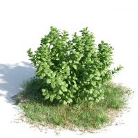 常绿灌木3d模型