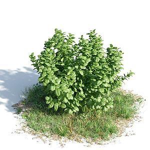 常绿灌木模型