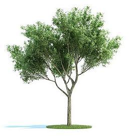 银杏树绿色模型