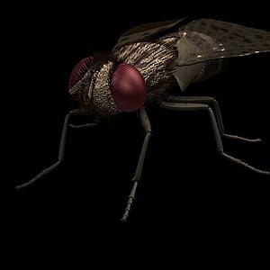 昆虫苍蝇模型