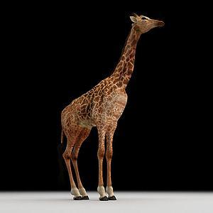 长颈鹿模型