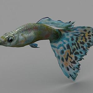 孔雀鱼模型