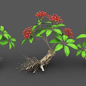 植物人參模型