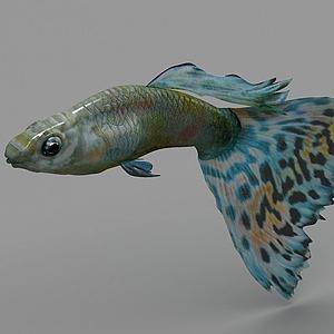 孔雀魚模型