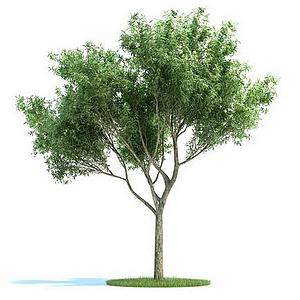銀杏樹綠色模型