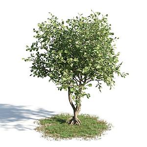 3d園林喬木模型