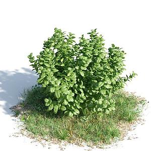 常綠灌木模型