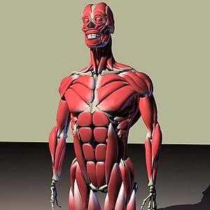 人體骨骼肌肉圖模型