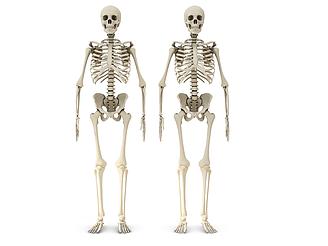 人體骷髏模型
