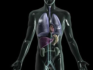 人體各器官心肝脾胃腎模型