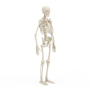人體骨架模型