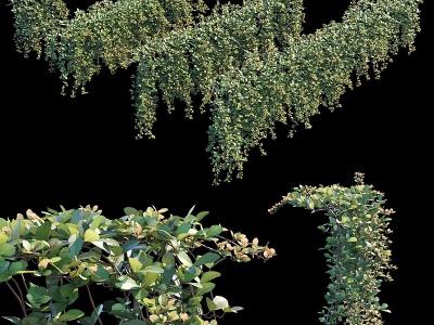 3d現代植物縢蔓地錦模型