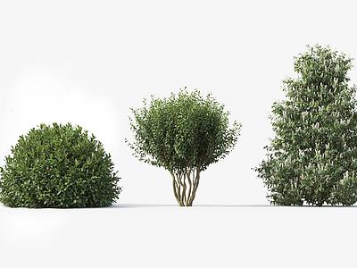 桂櫻Prunuslaurocerasus模型3d模型